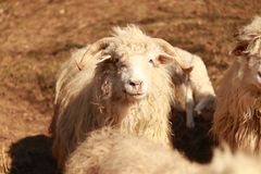 Finalmente um carneiro feliz Ainda feliz fotos de stock royalty free