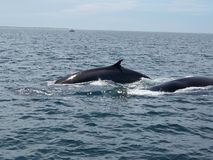 Finback Whales. Two finback whales swimming near Cape Cod stock photography