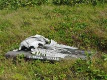 Finback wieloryba czaszka na pokazie Zdjęcie Royalty Free