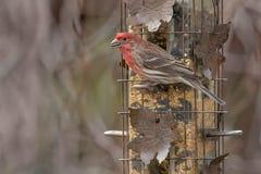 Finch σπιτιών - mexicanus Haemorhous στοκ φωτογραφίες με δικαίωμα ελεύθερης χρήσης