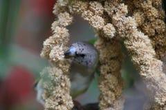 Finch łasowania ptasi ziarno zdjęcia royalty free