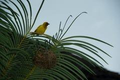 Finch Żółtej zieleni Ptasi dzikie zwierzę Zanzibar fotografia stock
