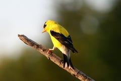 finch żółty Obrazy Stock