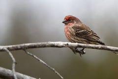 Finch ή σπουργίτι Στοκ φωτογραφία με δικαίωμα ελεύθερης χρήσης