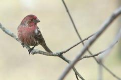 Finch ή σπουργίτι Στοκ Φωτογραφίες