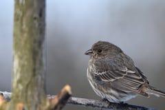 Finch ή σπουργίτι Στοκ φωτογραφίες με δικαίωμα ελεύθερης χρήσης