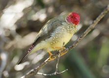 Finch αστεριών Στοκ Εικόνες
