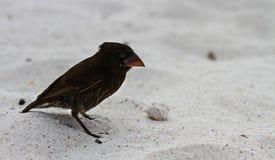 Finch Δαρβίνου Στοκ Φωτογραφίες