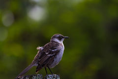 Finch Δαρβίνου στοκ φωτογραφία