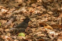 Finch Δαρβίνου Στοκ Εικόνες
