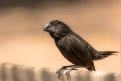 Finch Δαρβίνου Στοκ εικόνες με δικαίωμα ελεύθερης χρήσης