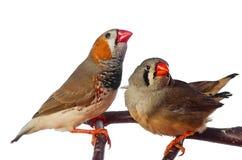 finch δύο πουλιών με ραβδώσεις στοκ εικόνα με δικαίωμα ελεύθερης χρήσης