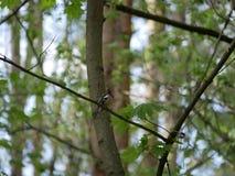 Finch κάθεται σε έναν κλάδο δέντρων στο δάσος και βουρτσίζει τα φτερά του Ηλιόλουστη θερινή ημέρα στοκ εικόνες με δικαίωμα ελεύθερης χρήσης