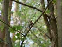 Finch κάθεται σε έναν κλάδο δέντρων στο δάσος και βουρτσίζει τα φτερά του Ηλιόλουστη θερινή ημέρα στοκ φωτογραφίες