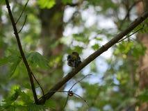 Finch κάθεται σε έναν κλάδο δέντρων στο δάσος και βουρτσίζει τα φτερά του Ηλιόλουστη θερινή ημέρα στοκ εικόνες
