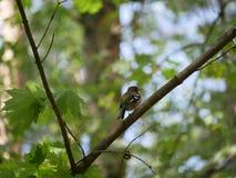 Finch κάθεται σε έναν κλάδο δέντρων στο δάσος και βουρτσίζει τα φτερά του Ηλιόλουστη θερινή ημέρα στοκ φωτογραφία με δικαίωμα ελεύθερης χρήσης
