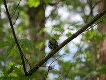 Finch κάθεται σε έναν κλάδο δέντρων στο δάσος και βουρτσίζει τα φτερά του Ηλιόλουστη θερινή ημέρα στοκ εικόνα με δικαίωμα ελεύθερης χρήσης