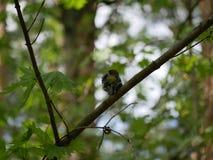 Finch κάθεται σε έναν κλάδο δέντρων στο δάσος και βουρτσίζει τα φτερά του Ηλιόλουστη θερινή ημέρα στοκ εικόνα