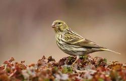 Finch κήπων serinus Serinus στοκ εικόνες με δικαίωμα ελεύθερης χρήσης