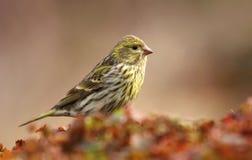 Finch κήπων serinus Serinus στοκ εικόνα