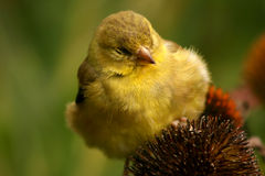finch κίτρινο Στοκ φωτογραφίες με δικαίωμα ελεύθερης χρήσης