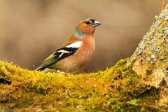 Finch μεταξύ του βρύου πράσινου στοκ εικόνα με δικαίωμα ελεύθερης χρήσης