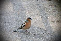 Finch πουλί στοκ φωτογραφία με δικαίωμα ελεύθερης χρήσης