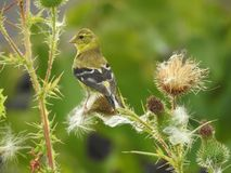 Finch που σκαρφαλώνει θηλυκό στους κάρδους στοκ φωτογραφίες