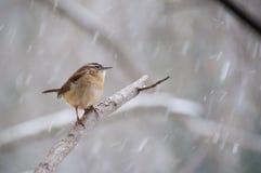 Finch που σκαρφαλώνει στον κλάδο στο χιόνι Στοκ Φωτογραφίες