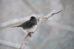 Finch που σκαρφαλώνει στον κλάδο στο χιόνι Στοκ Φωτογραφία