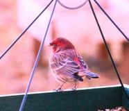 Finch που τρώει κάποιο γεύμα στοκ εικόνες