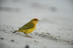 Finch σαφρανιού, flaveola Sicalis Στοκ Φωτογραφίες