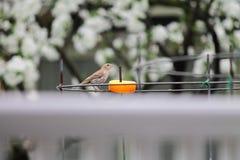 Finch σπιτιών που τρώει το πορτοκάλι στοκ εικόνες