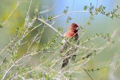 Finch σπιτιών στην έρημο Sonoran στοκ φωτογραφία με δικαίωμα ελεύθερης χρήσης