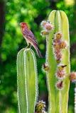 Finch σπιτιών στον ανθίζοντας κάκτο στοκ εικόνες
