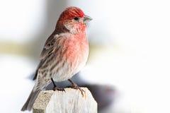 Finch σπιτιών φωτεινό στοκ εικόνες