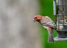 Finch σπιτιών Little Red στον τροφοδότη στοκ φωτογραφία με δικαίωμα ελεύθερης χρήσης