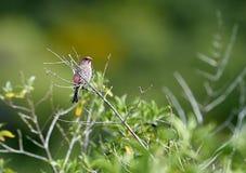 Finch σπιτιών mexicanus Carpodacus που σκαρφαλώνει σε ένα δέντρο στοκ φωτογραφίες