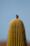 Finch σπιτιών, mexicanus Carpodacus στοκ φωτογραφίες
