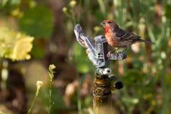 Finch σπιτιών, mexicanus Carpodacus στοκ εικόνες με δικαίωμα ελεύθερης χρήσης