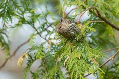 Finch σπιτιών - mexicanus Haemorhous στοκ φωτογραφία με δικαίωμα ελεύθερης χρήσης