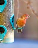 Finch στον τροφοδότη Στοκ Εικόνες