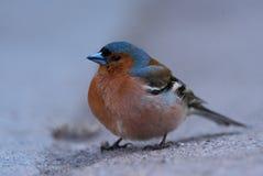 Finch στο tarmac στοκ εικόνα με δικαίωμα ελεύθερης χρήσης