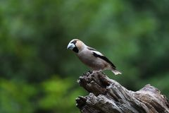 Finch της Apple σε έναν κορμό δέντρων στο δάσος στοκ εικόνες