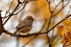 Finch φθινοπώρου στοκ εικόνα με δικαίωμα ελεύθερης χρήσης