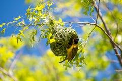 Finch φωλιά κτηρίου   Στοκ φωτογραφίες με δικαίωμα ελεύθερης χρήσης