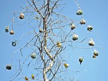 Finch φωλιές στοκ εικόνες με δικαίωμα ελεύθερης χρήσης