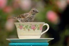 Finch φλυτζανών τσαγιού στοκ φωτογραφίες
