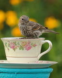 Finch φλυτζανών τσαγιού στοκ φωτογραφία με δικαίωμα ελεύθερης χρήσης
