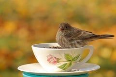 Finch φλυτζανών τσαγιού στοκ εικόνα